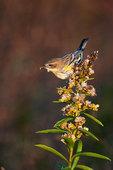 Yellow-rumped warbler in October dawn
