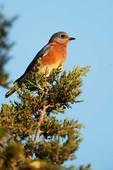 Eastern bluebird during autumn migration