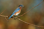 Eastern bluebird during autumn migration