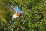 Eastern bluebird foraging on cedar berries during autumn migration