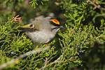 Golden-crowned kinglet in fall