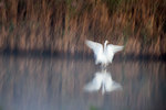 Great egret abstraction