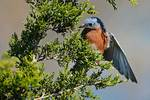 Eastern bluebird foraging for berries in red cedar