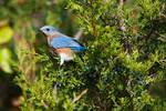 Eastern bluebird during fall migration