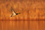 Mallard in golden light