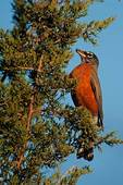 American robin in red cedar