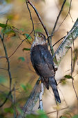 Sharp-shinned hawk perched in woodland habitat