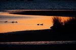 Waterfowl in salt marsh twilight