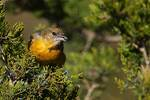 Female Baltimore oriole in December
