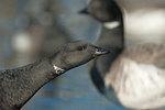 Atlantic brant geese