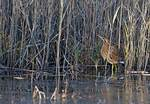 American bittern in salt marsh