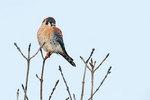 Male American kestrel perched