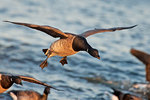 Atlantic brant flight in last light