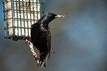Starling at suet feeder in winter