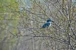 Male Belted kingfisher in spring woods