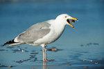Herring gull and crab
