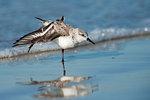 Sanderling wingstretch