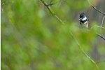 Female kingfisher in greening spring woods