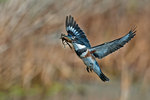 Belted kingfisher with crayfish prey