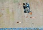 Kingfisher with crayfish prey