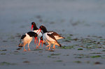 Oystercatcher territorial convocation