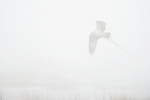 Osprey with nesting material in dense fog