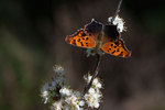 Question mark butterfly on spring beach plum