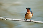 Barn swallow in April