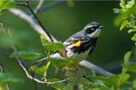 Male yellow-rumped warbler during spring migration