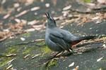 Gray catbird displaying
