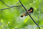 Male American redstart singing in spring-greened woods