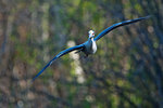 Yellow-crowned night heron in flight