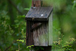 House wren at nest box in rain