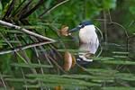 Black-crowned night heron submerged in pond