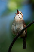 Carolina wren singing in mid May
