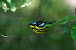 Male Magnolia warbler in mid-May