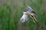 Adult black-crowned night heron in flight