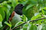 Male eastern towhee after the rain