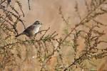 Swamp sparrow in October
