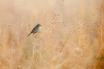 Swamp sparrow in autumn
