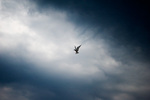 Common tern hovering in threatening sky
