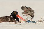 Adult oystercatcher and preening chick