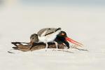 Oystercatcher parent and young chick