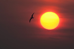 Lone tern at sunrise 2