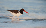 Adult oystercatcher in surf