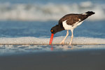 Oystercatcher feeding along ocean surf