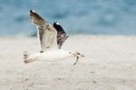 Juvenile great black-backed gull with least tern chick