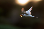 Juvenile Forster's tern flight impression