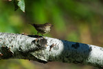 Northern waterthrush in early September