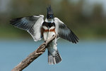 Belted kingfisher lands on perch after dive